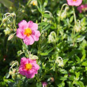 Helianthemum 'Lawrenson's Pink' - Zonneroosje - Vaste plant