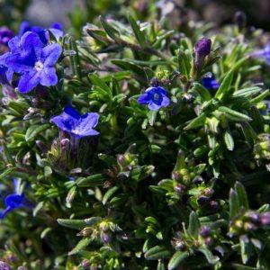 Lithodora diffusa 'Heavenly Blue' - Steenzaad - Vaste plant